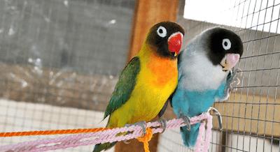Inilah Doping Rahasia Untuk Burung LoveBird Sebelum Lomba