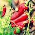 Manfaat Cabe Merah Pedas Membuatmu Berumur Panjang