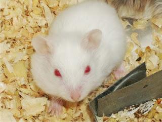 cach-phan-biet-chuot-hamster-winter-white-ww-va-campell-chuyen-nghiep-1