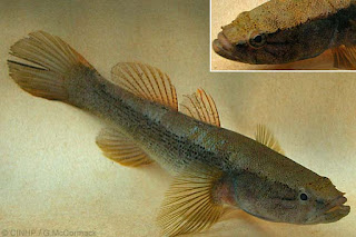 Eleotris fusca - Brown gudgeon - Puwakbadilla/ පුවක් බඩ්ල්ලා