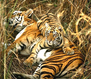 bengal tiger images, bengal tiger photos