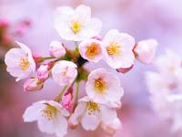 Perbedaan Bunga Sakura, Bunga Plum, dan Bunga Persik