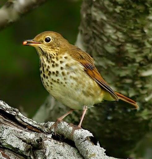 Suara burung hermit thrush