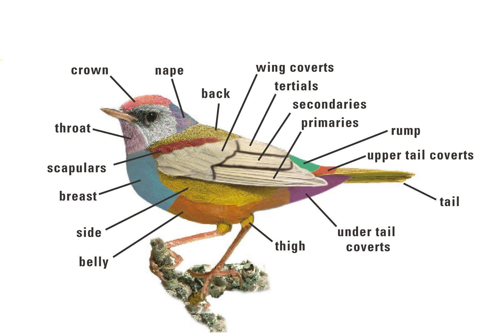 Diagram Of Birds - Electrical Work Wiring Diagram •