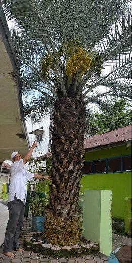 Sering Diperdengarkan Dzikir, Pohon Kurma Di Masjid Indonesia Ini Tumbuh Subur Dan Penuh Berkah