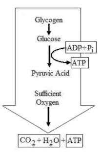 glikolisis aerobik