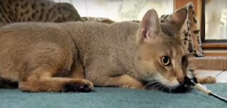 Chausie Cat Personality, Temperament, and Character, Chausie Kitten