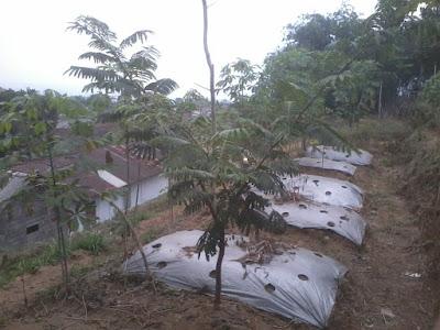 Prospek Menanam Pohon Pete dibanding Pohon Sengon (Kayu-kayuan)