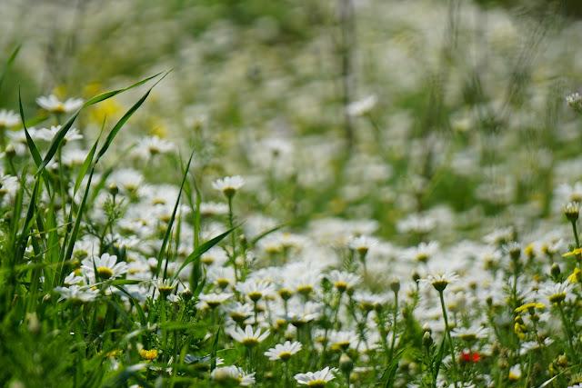 מרבד פרחים בשמורת גמלא