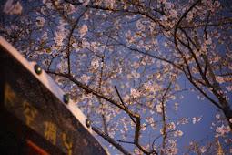 上海で最も美しいバスセンター桜