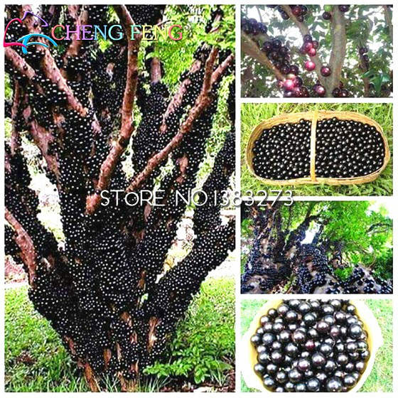 The Brazilian Grape Tree - Jabuticaba (It Grows Fruits & Flowers Directly on The Trunk), jabuticaba fruit tree