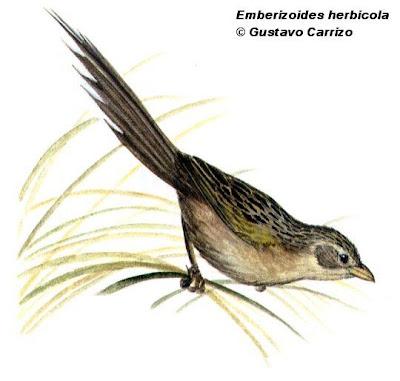 Coludo grande Emberizoides herbicola