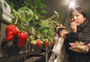 日本一早いイチゴ狩り 伊那みはらしいちご園