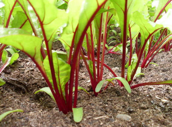 How to Grow Beetroot From Seed | Garden How