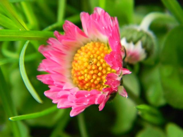 kwiat, różowy, ogród, roślina