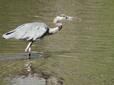 great blue heron lake siskiyou mt shasta california