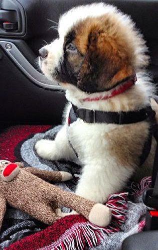 Cute Bernard puppy