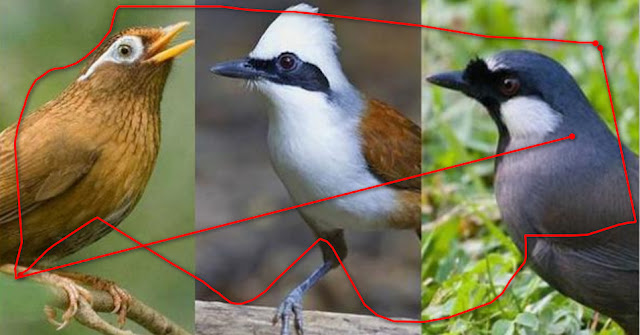 Burung Poksay