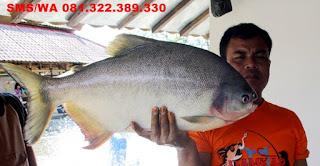 Essen Ikan Bawal Harian