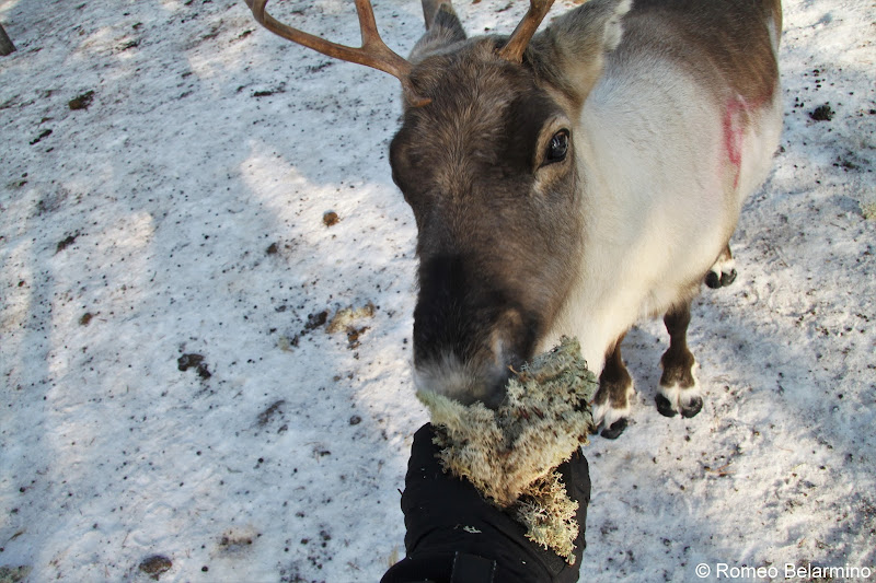 Feeding Reindeer Moss Outdoor Winter Activities in Sweden's Lapland