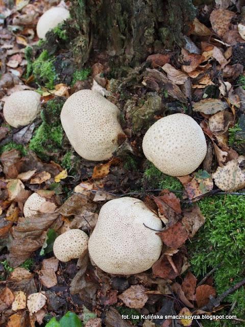 tęgoskór, grzyby podlasia, jesienne grzybobranie, podlasie 2016, urlop w lesie, na grzyby, grzyby gatunkami, puszcza białowieska
