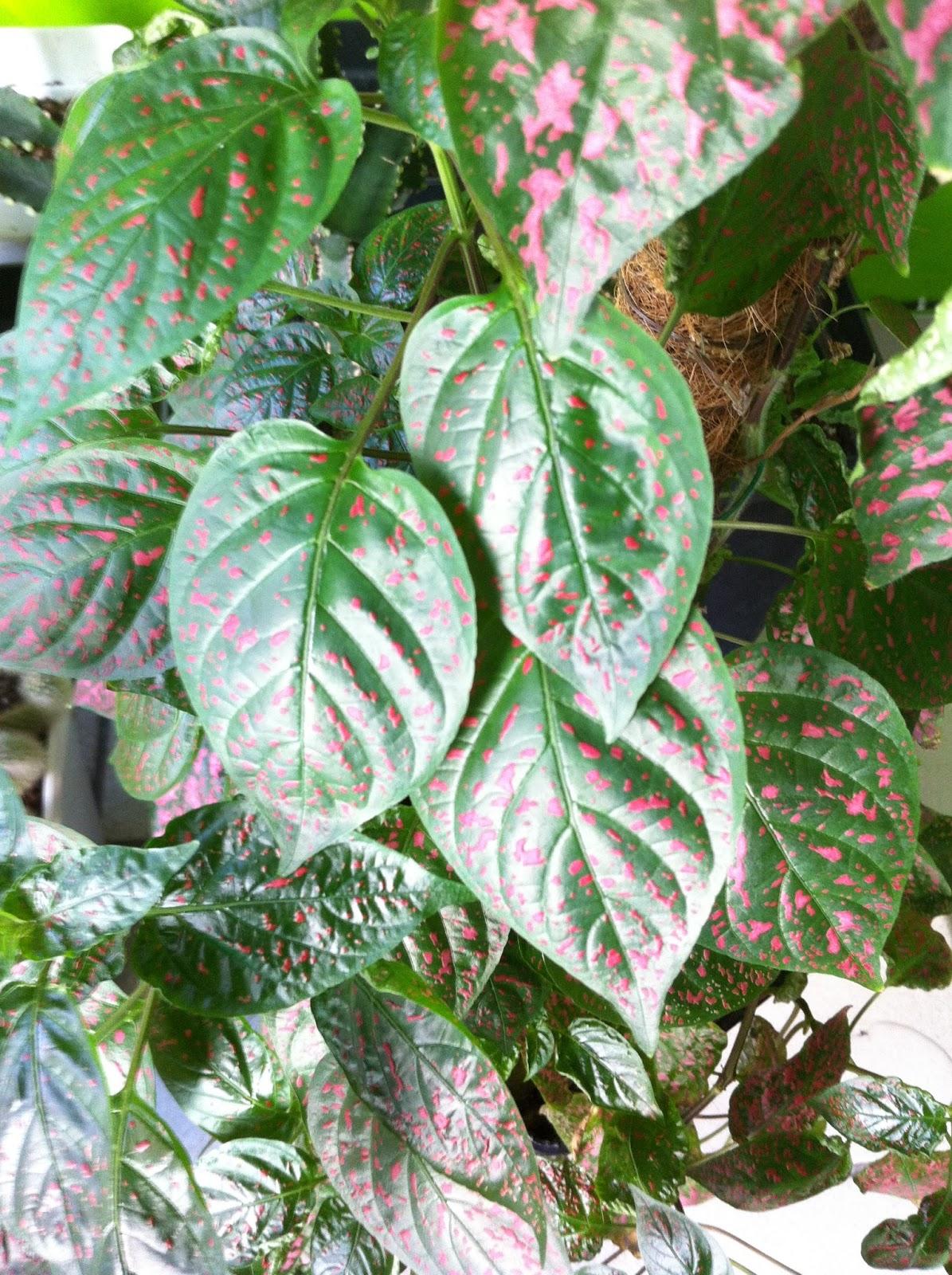 La mar de verde coleus blumei o coleo - Plantas para arriates ...