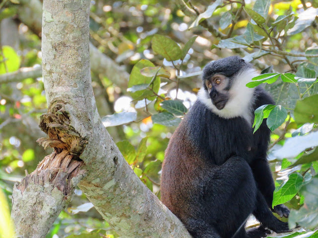 L'Hoest's monkey spotted at Bigodi Wetlands in Western Uganda