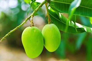 Benefits of Leaves of Mangoes