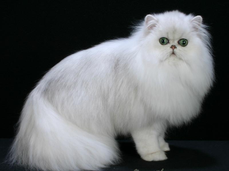 Unduh 64+  Gambar Kucing Anggora Dan Namanya Paling Bagus Gratis