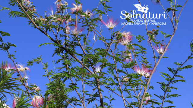 Calliandra parvifolia Flor de Seda