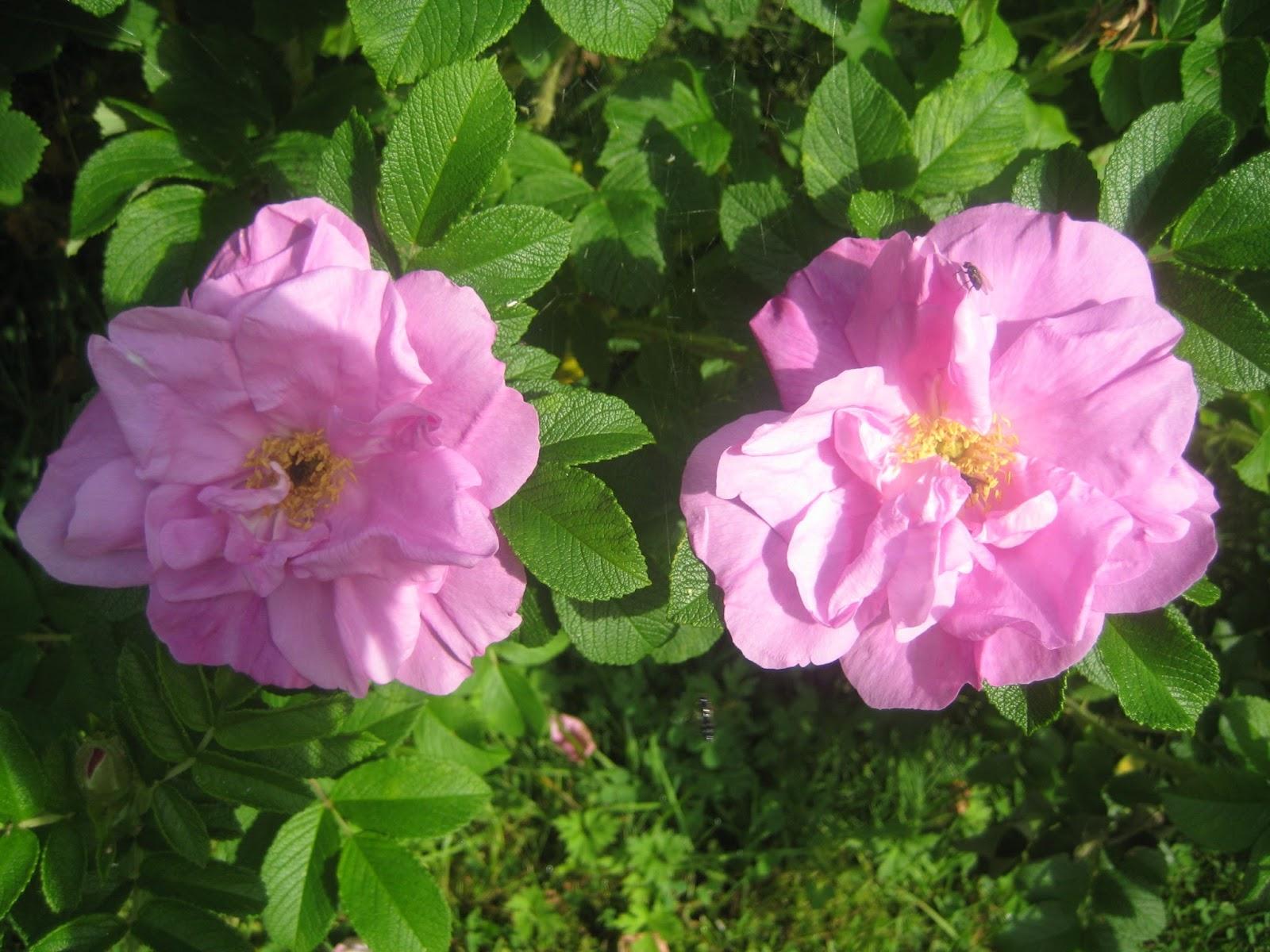 Ruusukuvia
