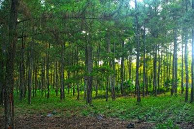pemandangan hijau hutan pinus