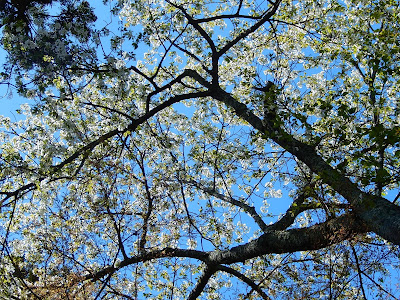 長谷寺の桜