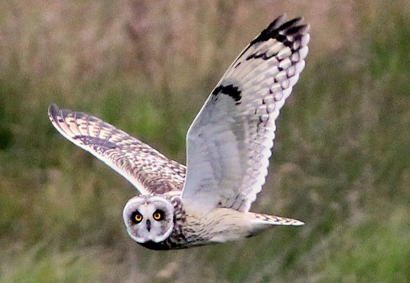 Fly Flatts Short Eared Owl