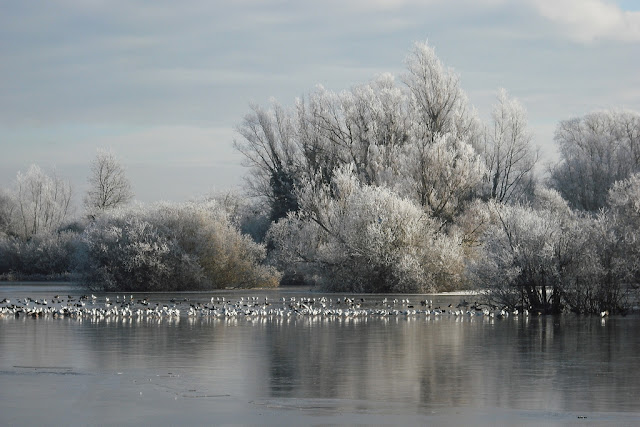 Gulls standing on frozen pit with rime covered trees