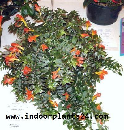 Nematanthus GOLDFISH PLANT COLUMNEA X BANKSII PLANT