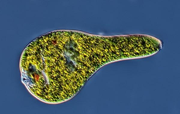 Euglena sp