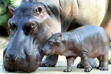 Foto de hipopótamo hembra con su cría pequeño