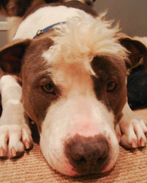 Dog Chewed Up Rug: Two Pitties In The City: DoggyStyle: On Dogs And Fluffy Rugs