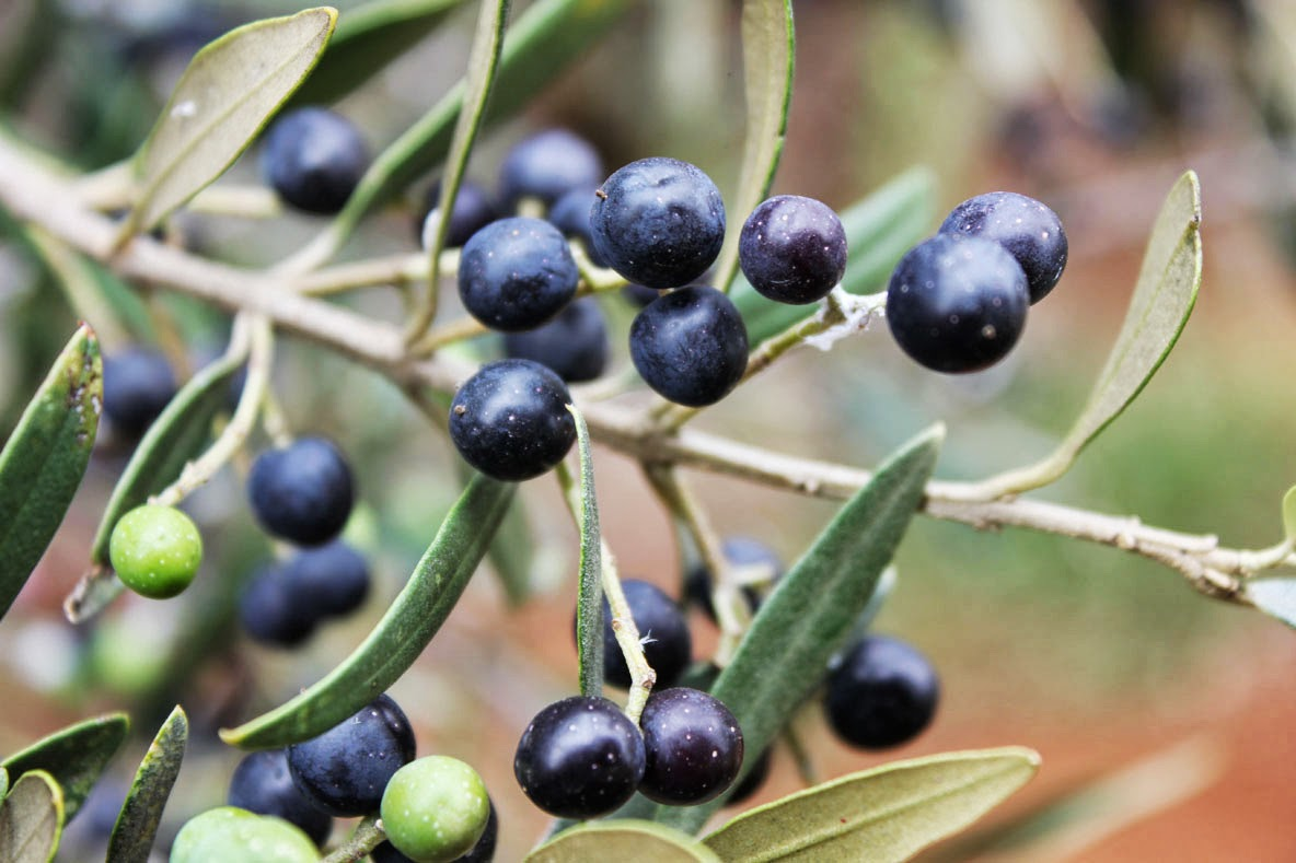 Olives are a fruit or a berry Description