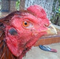 Keistimewaan Dan Kelemahan Ayam aduan Suro Rembes Serta Ciri ayam Yang memiliki kekuatan Magis (Ayam Suro)
