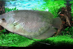 Klasifikasi Dan Anatomi Ikan Gurame Jenis Tanaman Hidroponik