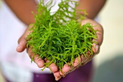 10 Manfaat Rumput Laut untuk Kesehatan
