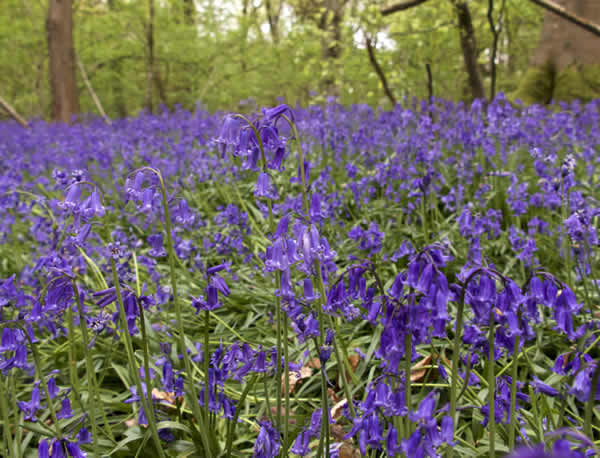 Hybridization of Bluebells