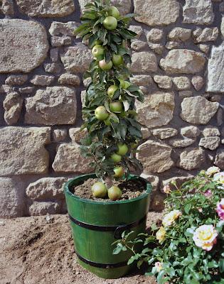 arbre fruitier colonnaire