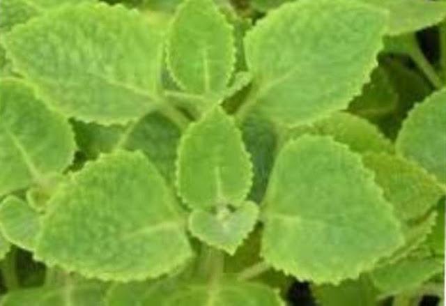 Kegunaan Atau Manfaat Daun Bangun Bangun/Daun Jintan (Plectranthus amboinicus sin Coleus amboinicus Bagi Kesehatan