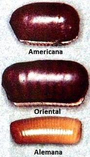 Fotos a las cápsulas donde se encuentran los huevos de cucarachas