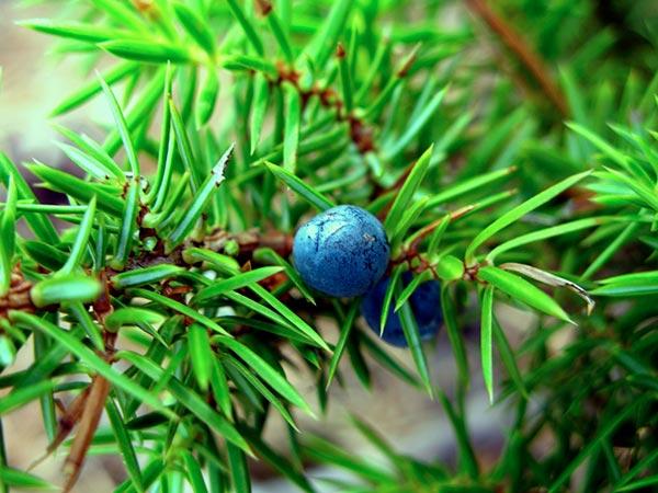 Enebro, arbusto, verde, baya azul