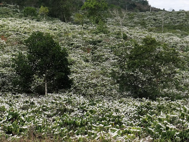 Central Highlands region whitened by coffee flowers 1
