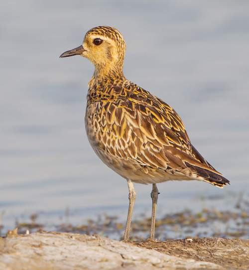 Indian birds - Picture of Pacific golden-plover - Pluvialis fulva